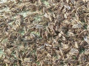 出售冷冻蚂蚱,味道鲜美,个体肥大,纯绿色食品。
