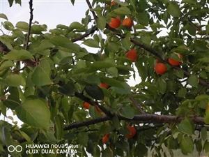 红通通美味可口的杏熟了欢迎大家来品尝