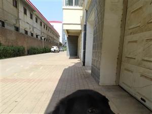 出售家养黑色拉布拉多一只,母犬,一岁半。