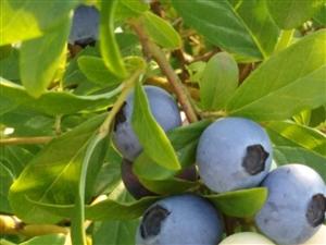 绿色有机蓝莓