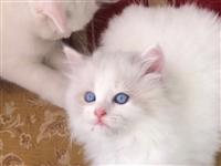 漂亮的小白猫。招财猫咪,有53天大了,驱虫已做。特别健康乖巧。一共有3只。有喜欢小猫咪的可以联系19...