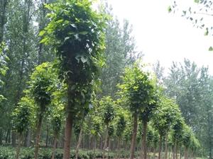 岀售白蜡树,合欢树,华桐