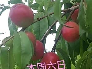 康王花谷喊你摘油桃去啦