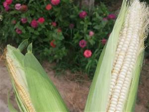 新鲜玉米批发卖了,有需要的联系我哦,大量不打农药