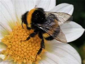 蜜蜂,熊峰授粉,出租或出售