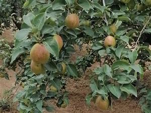 自家种的二十亩新梨七上市,皮薄,口感细腻,脆甜多斗