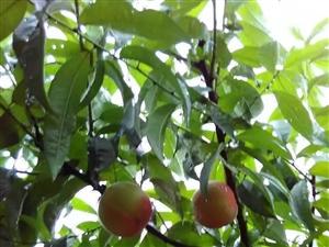 米坪蘋果桃批發零售