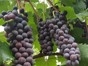 夏黑葡萄采摘园开园啦