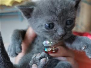 出售个人家养精品蓝猫