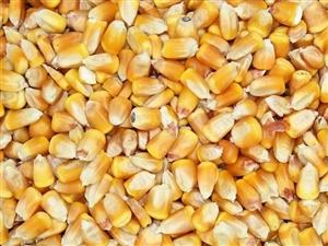 收购少量干玉米粒