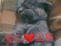 英短蓝猫寻求爱心人士收养,已打三次预防针,有猫砂猫粮赠送