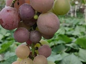 出售本地葡萄