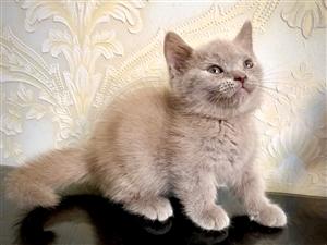 蓝猫2个月,矮脚,布偶成年公出售