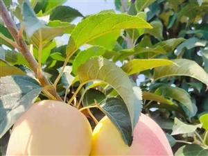 新鮮蘋果?? 采摘園開始啦