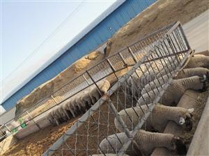 瓜州县石岗墩农场常年大量出售品种羊