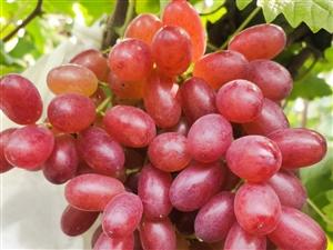 冰美人葡萄