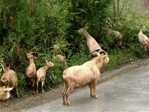出售天然散养山羊及怀孕母羊