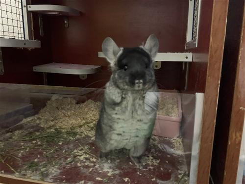 信阳固始及周边地区出一只自家繁殖的四个月大的龙猫,颜色是丝绒黑色,1000元包运,如果不会饲养的话我...