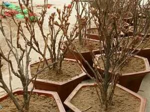 兰州紫斑牡丹苗木出售