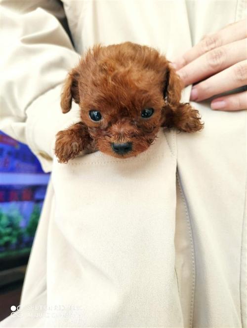 自家狗狗生的狗狗,一共两只,超小体长大后估计二三斤沉(最后一张是狗妈妈的照片)