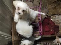 出售2个月大宠物犬