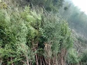 红豆杉苗木各种盆景上市