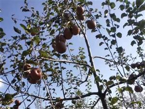 苹果园出售,6000(六千一亩)兴隆一大队
