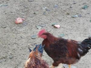 农村散养大公鸡
