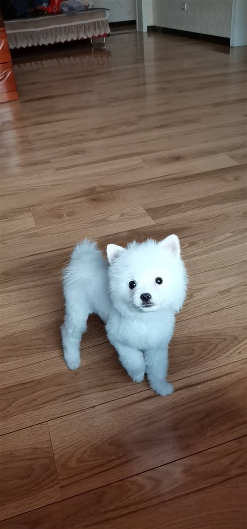 出售小狗一只