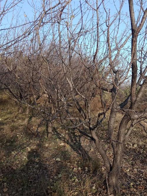 出售杏树10...15公分50棵,15...20公分150棵