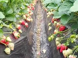新鲜奶油草莓?? 上市
