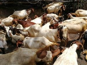 出售武都山地放养波尔山羊