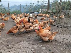 红庙土鸡养殖基地
