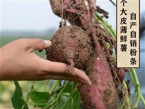 有机红薯粉条