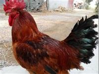 山区放养柴鸡,柴鸡蛋,欢迎选购!