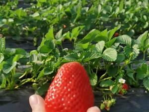 萊陽市人民醫院西,荊河路邊草莓采摘園